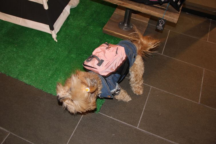 A dog hanging out at Dog & Co. in the TurnStyle shopping concourse (Photo: Lauren Elkies Schram/ for Commercial Observer).