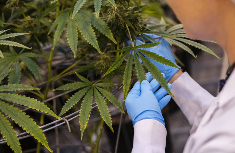 A worker inspects cannabis plants.