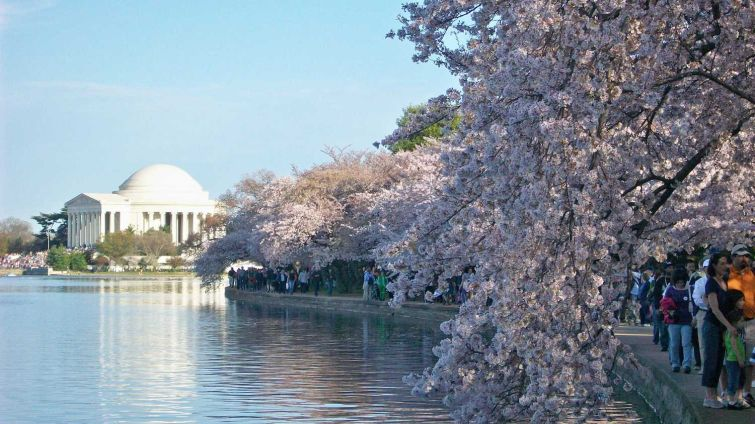 The cherry blossoms in bloom around the Tidal Basin.